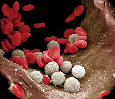 Red white blood cells in an arteriole