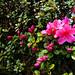 Parc de Maulévrier - Azalées roses ©Stéfan