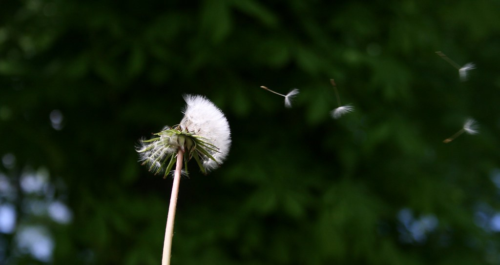 Dandelions Blowing in The Wind Photography Dandelions Blowing in The Wind