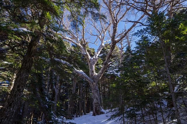 コメツガの樹林帯に茂る大きなダケカンバ