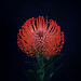 Pincushion (Protea) by East of West LA