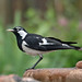 Magpie-Lark - Photo (c) Michael Jefferies, some rights reserved (CC BY-NC)