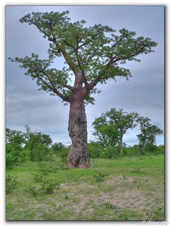 Baobab Tree HDR - Nunga River Road