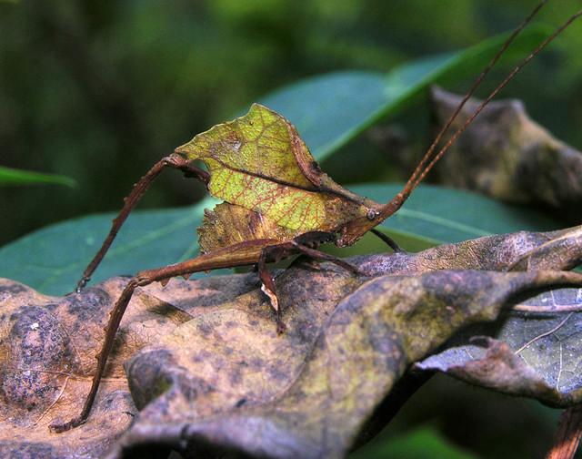 Small leaf katydid (Typophyllum sp, Pseudophyllinae), Peruvian Amazon
