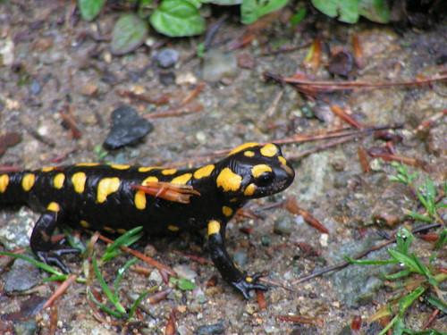 Salamandra1 a Vizzavona5