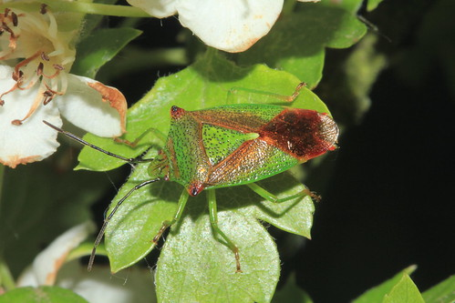 Hawthorn Shieldbug 5494