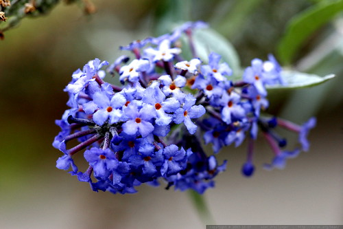 late blooming lilac flowers    MG 4538