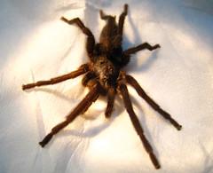 araneus(0.0), european garden spider(0.0), arthropod(1.0), animal(1.0), spider(1.0), invertebrate(1.0), macro photography(1.0), fauna(1.0), close-up(1.0), tarantula(1.0), wolf spider(1.0),