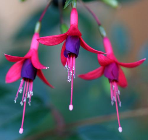 Fuchsias (Genus Fuchsi...
