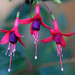 Fuchsia - Photo (c) Philip Bouchard, some rights reserved (CC BY-NC-ND)