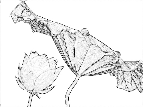 Lotus Flower Sketch Black White IMGP3823