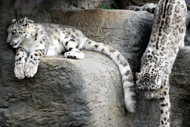 My First Snow Leopards | Flickr - Photo Sharing!