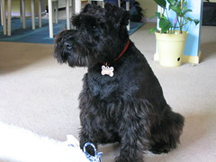 dog breed, animal, dog, schnoodle, pumi, pet, standard schnauzer, havanese, schnauzer, cesky terrier, bouvier des flandres, miniature schnauzer, affenpinscher, carnivoran, scottish terrier, terrier,