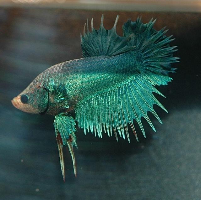 Ctpk multi m betta online flickr photo sharing for Show betta fish