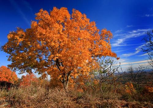 autumn orange tree fall yellow foliage skinnermountain vob