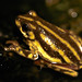 Painted Reed Frog - Photo (c) Brian Gratwicke, some rights reserved (CC BY-NC)