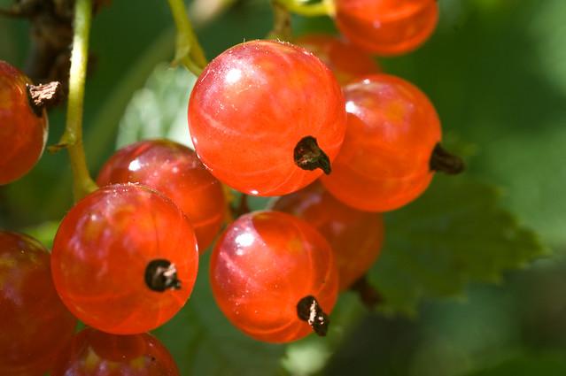 Red currant * Красная смородина * Grosella * Ribes * Groselha * Groseille rouge  * Rote Johannisbeeren