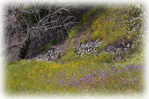 california wild flower 20d field canon landscape photo spring seed photograph poppy poppies wildflower lupine brodiaea vetch naturewatcher explorer312 familygetty