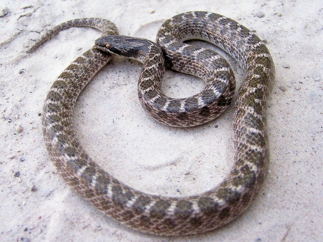 Texas night snake hypsiglena torquata jani adult Garden snakes in texas