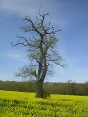 Tree in rapefield
