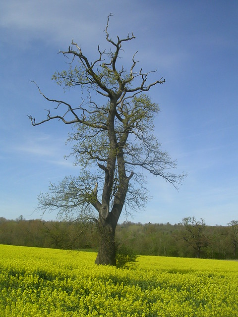 Tree in rapefield