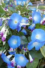 pansy(0.0), annual plant(1.0), ipomoea violacea(1.0), flower(1.0), purple(1.0), plant(1.0), wildflower(1.0), flora(1.0), petal(1.0),