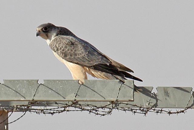 Falconiformes. sub Falconidae - sub fam Falconinae - gênero Falco - Página 2 2098388449_eeb9b4a6fa_z