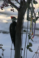 Pileated Woodpecker on Cherry Tree