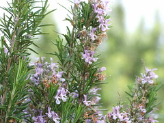 flower, rosemary, plant, lilac, wildflower, flora,