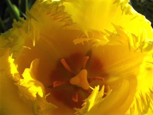 big yellow tulip