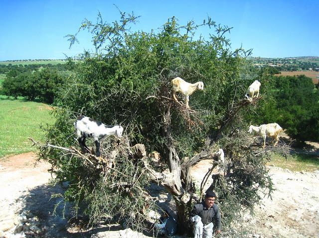 Capre sugli alberi, Marocco