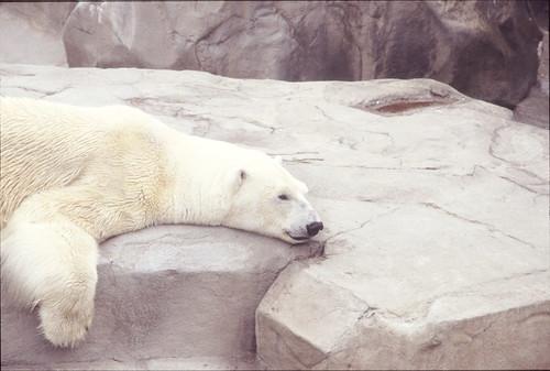 White bear   シロクマ一匹