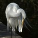 Great Egret Preening... by Light Your World Photography