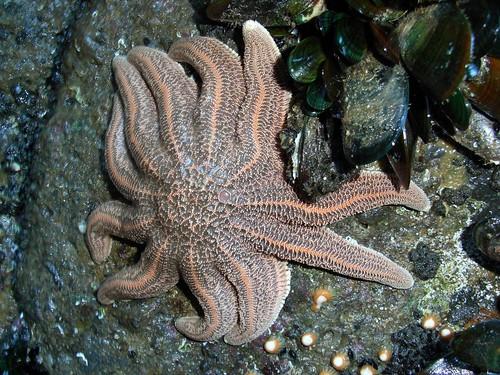 Starfish - Sun Star (Stichaster australis)