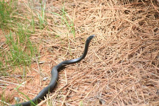 Snake in my backyard   Flickr - Photo Sharing!