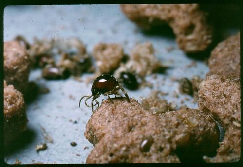 Gibbium spider beetles in food item