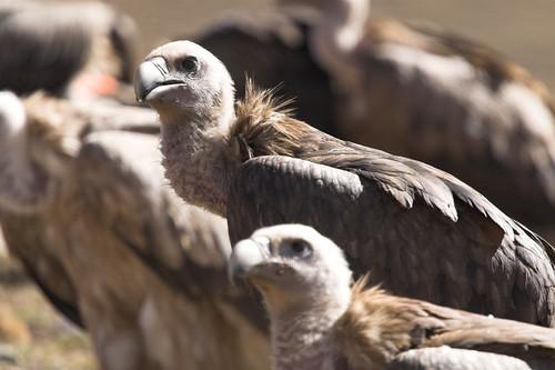 Sky burial vultures