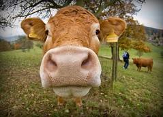 A cow [15/365]