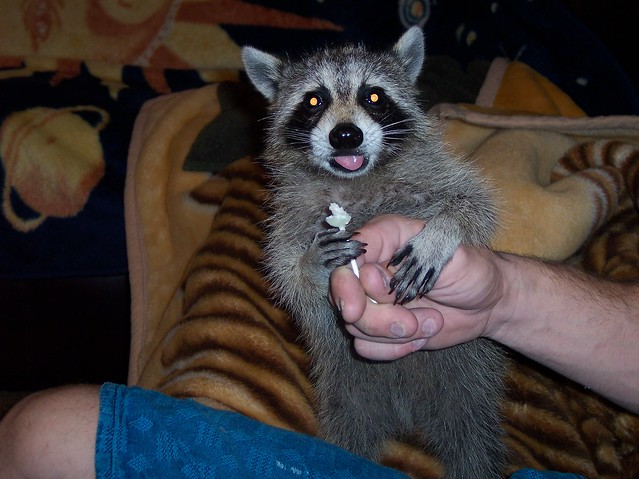 raccoon opposable thumb