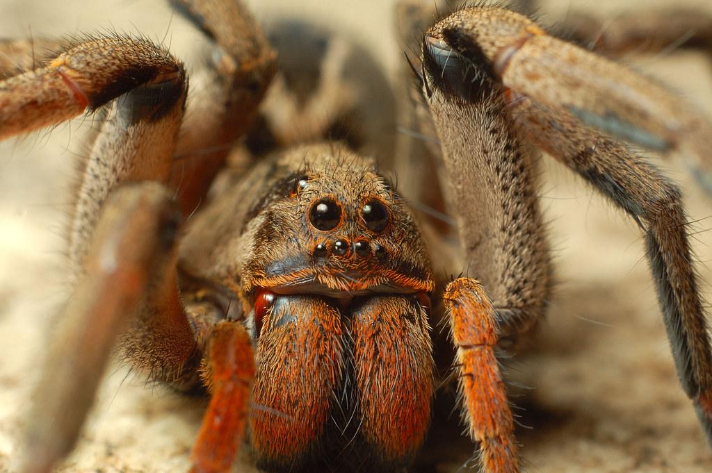 Ядовитые пауки описание и