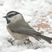 Mountain Chickadee - Photo (c) Jerry Oldenettel, some rights reserved (CC BY-NC-SA)