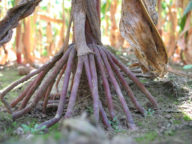 Corn Aerial Roots A Gallery On Flickr