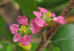 Acerola / Malpighia glabra / アセロラ