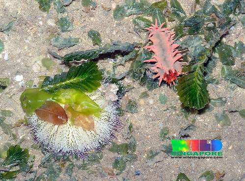 White sea urchin and thorny sea cucumber