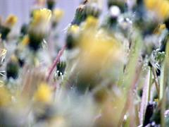 Dandelions Looking Beyond