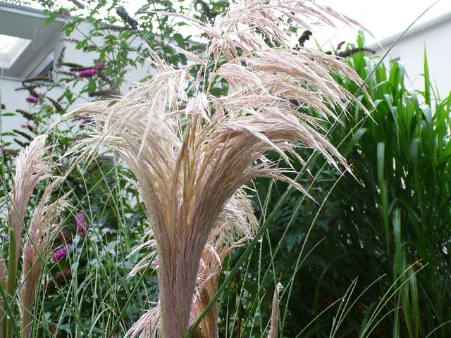 Pampas in the rain
