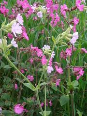 hesperis matronalis(0.0), annual plant(1.0), flower(1.0), plant(1.0), centaurium(1.0), herb(1.0), wildflower(1.0), flora(1.0), lathyrus latifolius(1.0),