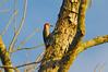 Red-bellied Woodpecker by Woolmarket100
