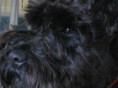 dog breed, animal, dog, schnoodle, pumi, pet, tibetan terrier, bolonka, poodle crossbreed, havanese, schnauzer, bouvier des flandres, miniature schnauzer, carnivoran, scottish terrier, terrier,