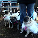 pugs in sheeps' clothing